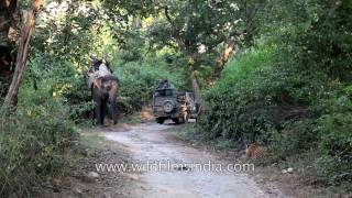 Tiger Attack In Corbett Park: Tigress Mock Charges An Elephant