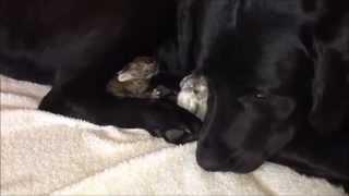 Labrador Kona Adopts Orphan Bunnies