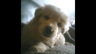 Golden Retriever Puppy: ''precious'' A Rescue From Kuujjuaq