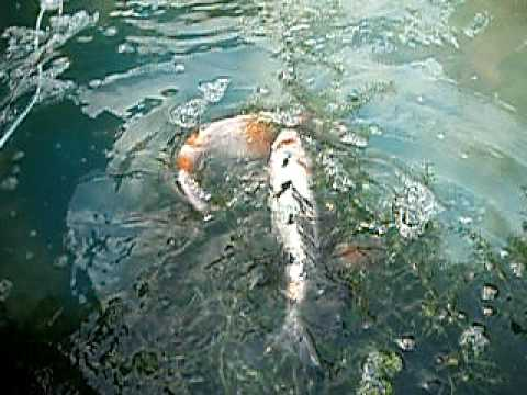 Koi fish breeding youtube for Koi reproduction