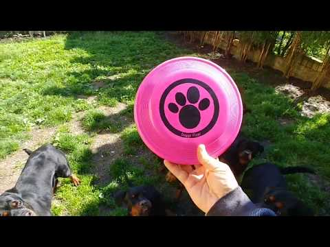 ROTTWEILERS PUPPIES ENJOY IN PLAYING