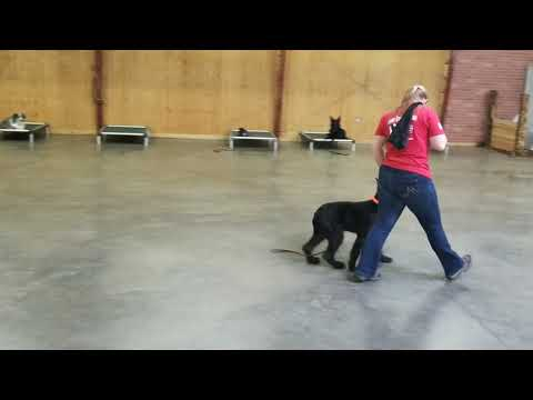"""Doing Time W/""""Thyme"""" Giant Schnauzer 6 Mo's Obedience Training W/Protection Dog Sales"""