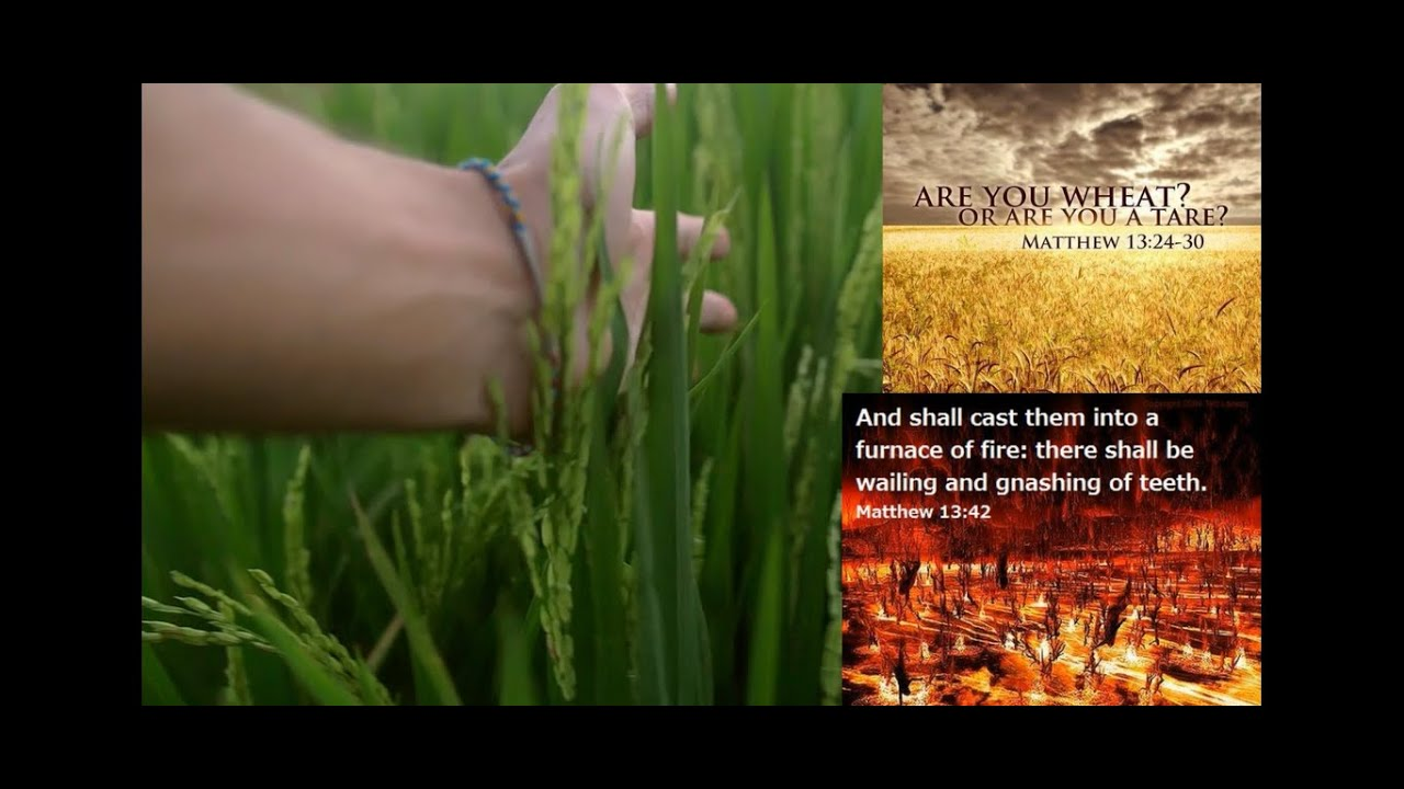 The WHEAT and the TARES - WHO Are The Tares? SINFUL BELIEVERS!