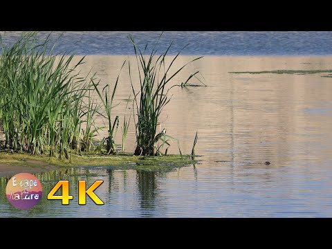 Birds and frogs sound in the lake # Relaxing nature video for stress relief # 4K video