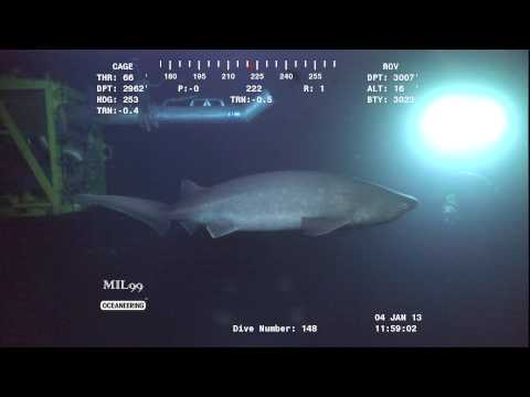 An offshore ROV captures a shark swimming in the Gulf of Mexico