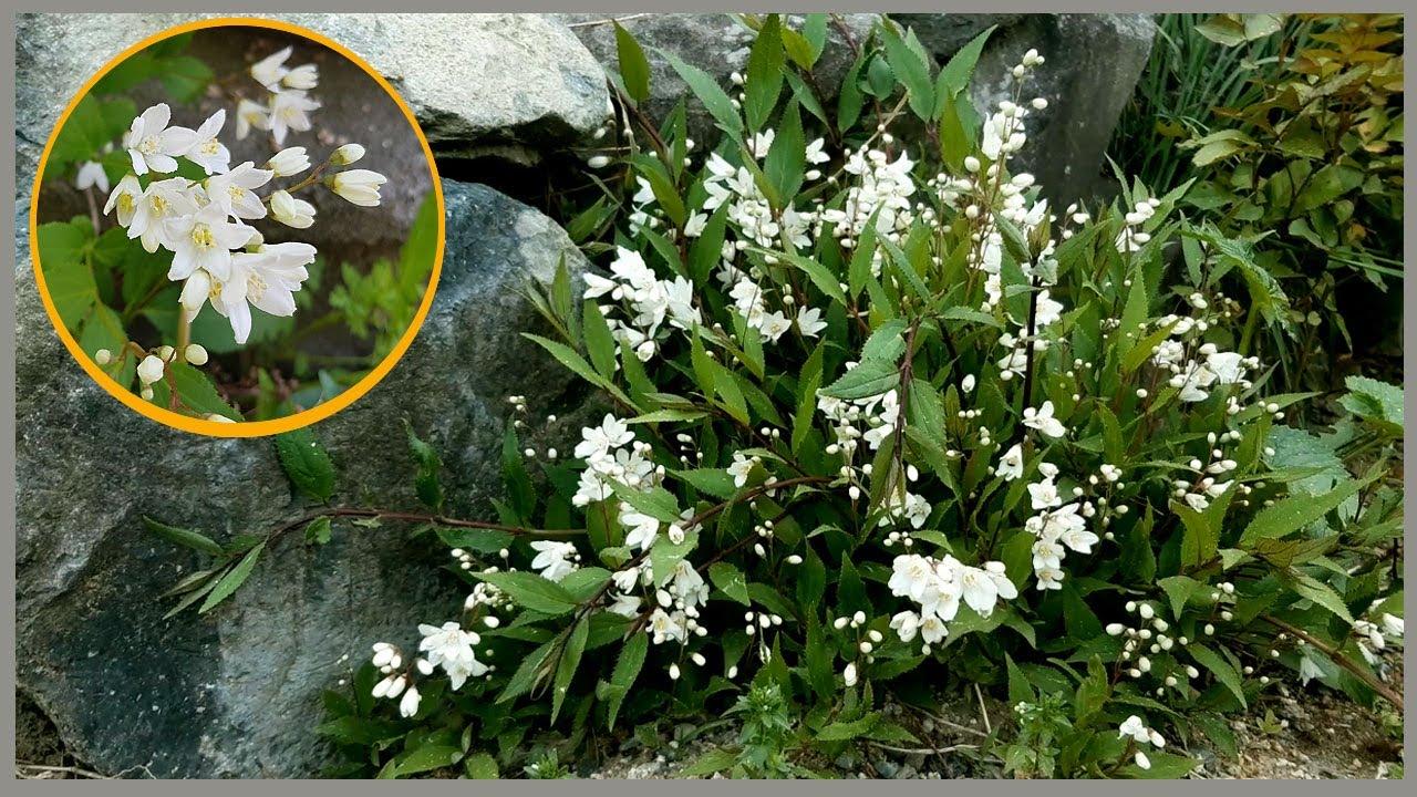 애기말발도리 가장쉬운 번식법ㅣ삽목둥이 노지 관리법ㅣ석류수확 |간편한 수제비 | Deutzia gracilis 🍂