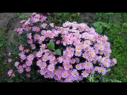 Как правильно укрыть хризантемы на зиму