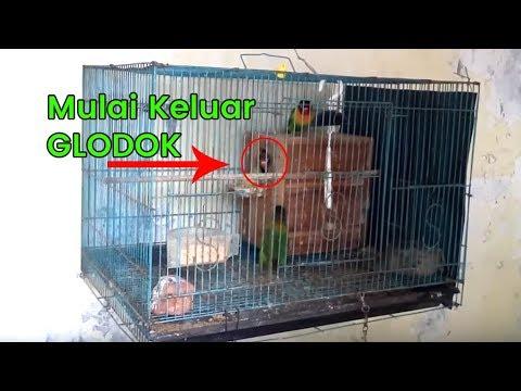 Anakan Lovebird Mulai Keluar Glodok Youtube