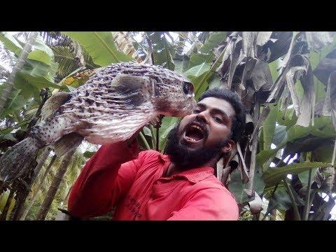 Pufferfish/Quick Porcupine!!Indian Chonja Machli In Hindi