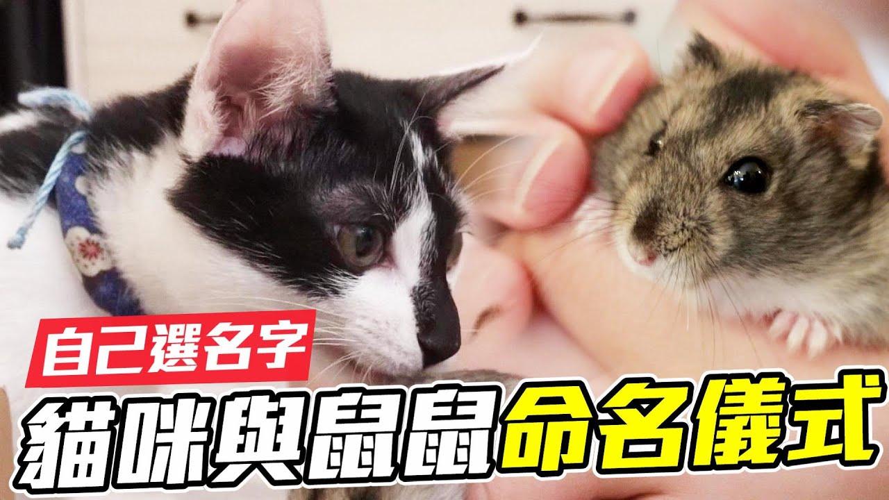 【維鼠日記】新成員 貓咪 鼠鼠 命名儀式!自己選新名字【維特】#95