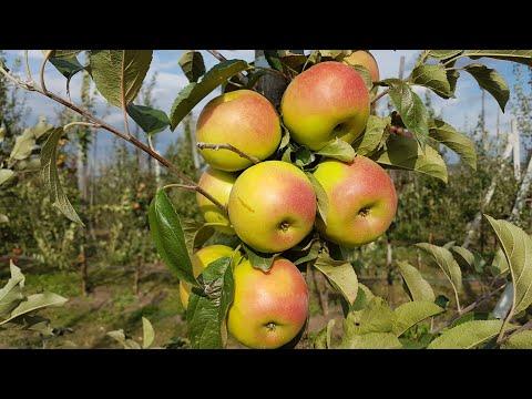 Вопрос: Какие особенности у сорта яблок Cosmic Crisp,чем он примечателен?