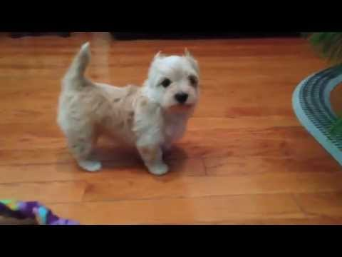 Yorkshire Terrier Golddust Yorkshire Terrier Chanel Bridget Youtube