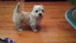 Yorkshire Terrier, Golddust Yorkshire Terrier, Chanel Bridget