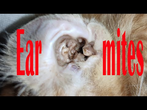 Ear mites!Flea prevention!Best treatment for cats!Home remedies,easily relieve the pain of the cats.