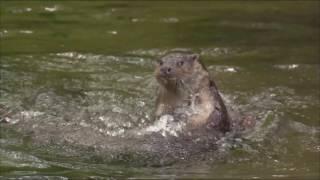 Vorfahrt für den Otter