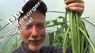 Meterbohne Anbau im Garten