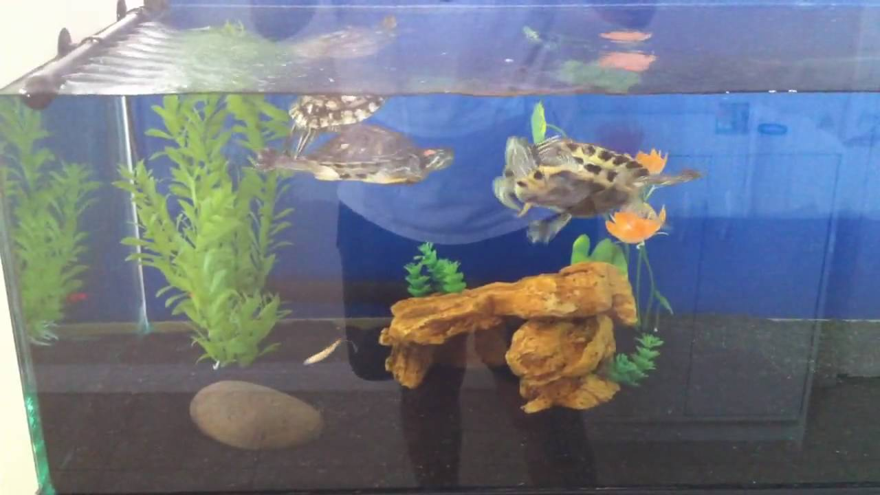 Awesome Red Eared Slider 110g Turtle Tank Setup YouTube