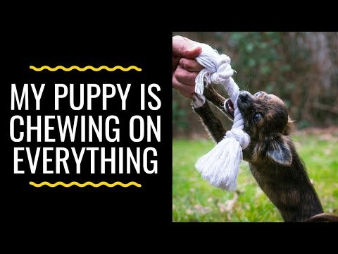 my-puppy-is-chewing-on-everything:-how-to-teach-your-puppy-to-stop-chewing!