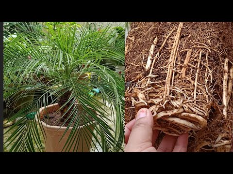 How to Repot a 4 years old Phoenix Palm ||Repoting and Complete caring of phoenix palm