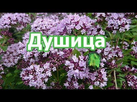 Трава душица обыкновенная, польза чая с растением для здоровья, противопоказания, лечебные свойства.