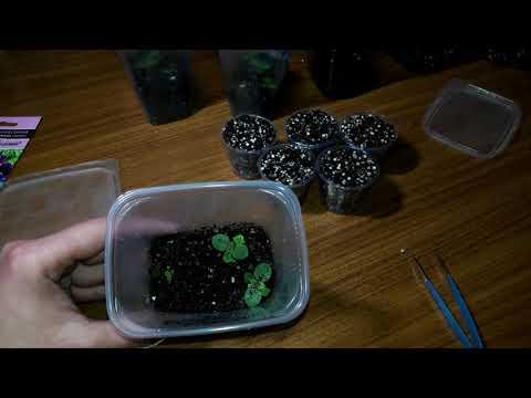 Как правильно посеять семена глоксинии видео