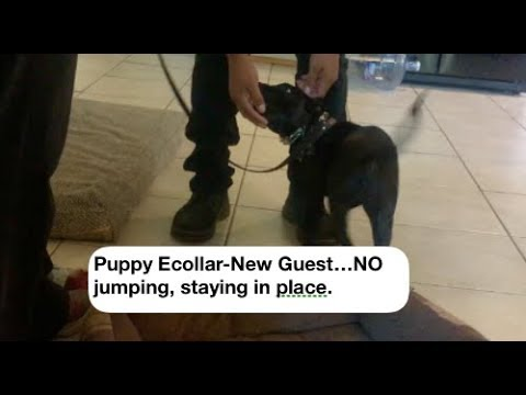 Puppy Ecollar Door and New person Excitement/Jumping exercise
