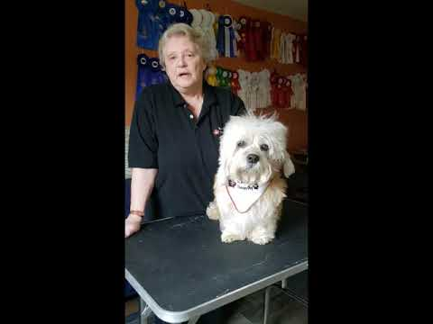 Ali the Dandie Dinmont Therapy Dog