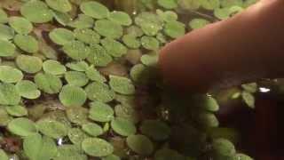 Aquarium Plant Overview: Salvinia