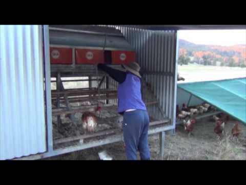 putting-the-hens-to-bed-at-ayton-farm
