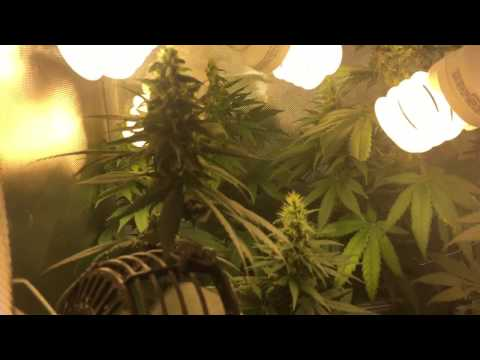 Cfl Grow Tent Week 5 Flowering Durban Widow