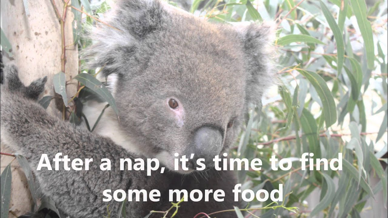 panda life cycle diagram ez go gas starter wiring list of synonyms and antonyms the word koala bear