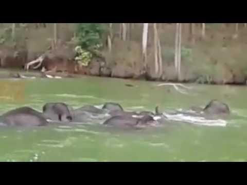 யானைகள் ஆற்றை நீந்தி கடக்கும் அறிய வீடியோ /ELEPHANT SWIMMING ACROSS THE RIVER