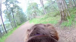 gopro dog pov sussex spaniel out on walk