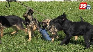 Как кинологи подбирают щенков для службы в полиции