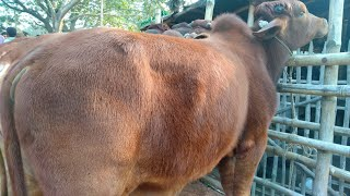 Big Cow in Bangladesh Do not miss  Top Cow Videos 2019  Daily Animals Topic