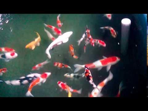 Ikan Koi Nglegok Blitar