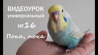 """Учим попугая говорить. Урок №16: """"Пока, пока"""""""