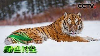 《绿色时空》 20190728 守望 只为虎豹啸山林| CCTV农业
