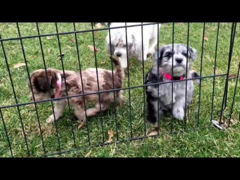 Daisy's schnoodle puppies 6 weeks old today 2-21-17