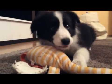 Ogromnie Coffee- szczeniak border collie ❤ - YouTube UT62
