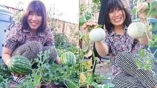 Trái mâm xôi, dưa lưới, dưa hấu, thăm vườn rau trái cây của chị Tiên Cô Cô