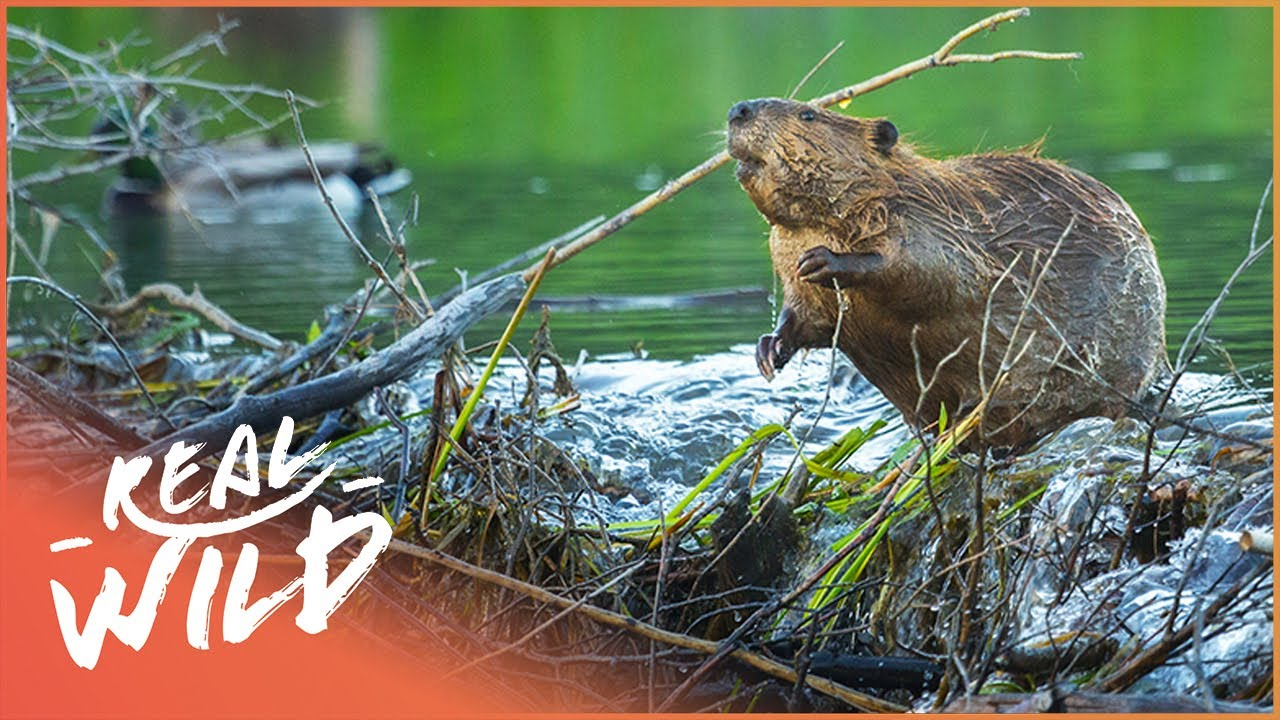 Download Why Do Beavers Build Dams? Nature's Engineers (Wildlife Documentary) | Natural Kingdom | Real Wild