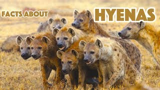 5 Facts About Hyenas - Hyena Facts, For Kids
