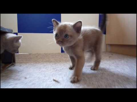 Burmese Kittens - 5 weeks