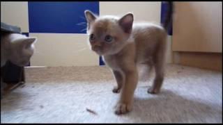 Burmese Kittens  5 weeks