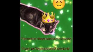 признаки беременности кошки/ уход за бережёной кошкой