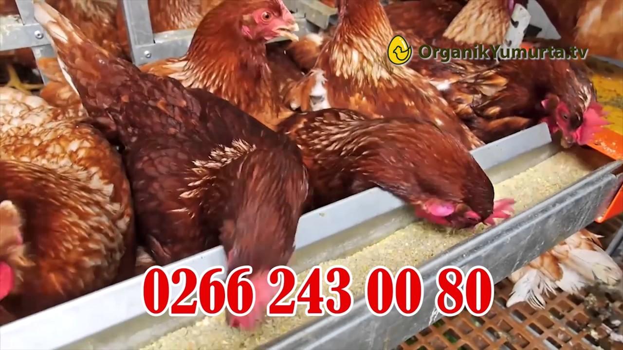 Piliç tavuklarını nasıl ve ne besleyeceğiz