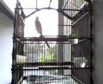 Bách thanh - Chàng làng - Suara burung