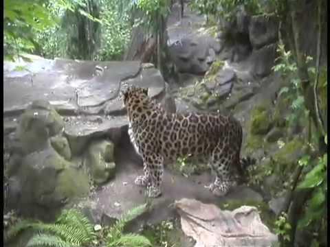 Amur Leopard Introduction