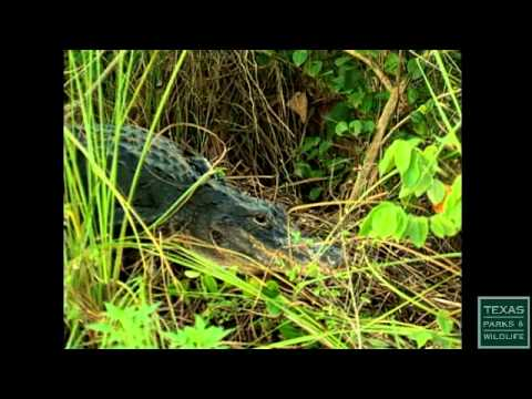 Alligators, Monarch of the Marsh - Texas Parks and Wildlife [Official]